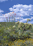 Mounting on the horizon, a cloud bank carries with it the promise of springtime storms to nourish and support the many flora of the American Southwest.<br /> Organ Pipe Catus National Monument, Arizona