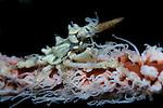 Wire coral or xeno crab portrait, Xenocarcinus tuberculatus, Lembeh Strait, Bitung, Manado, North Sulawesi, Indonesia, Pacific Ocean