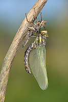 Brown Hawker - Aeshna grandis