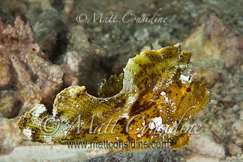 Leaf fish camouflaged, Yap Micronesia (Photo by Matt Considine - Images of Asia Collection) (Matt Considine)