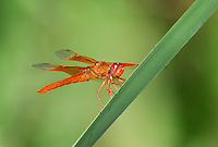 389310004 a wild flame skimmer libellula saturata perches on  a cattail reed along piru creek in los angeles couny california