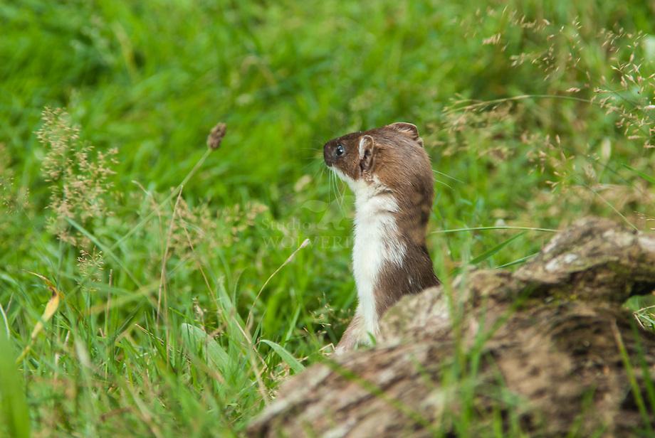 Hermelijn (Mustela erminea)