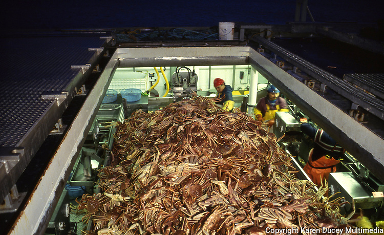 Processing freshly caught bairdi crab on a catcher processer in Bristol Bay, the Bering Sea, Alaskaphoto © Karen Ducey)