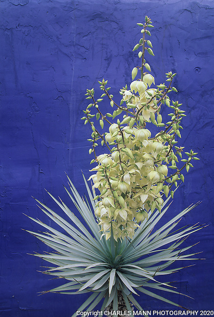 A Yucca rostrata in full bloom makes a dramatic contrast against a blue wall at the Antique Rose Emporium in San Antonio, Texas.