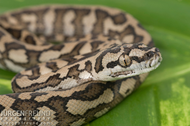 Baby Coastal Carpet Python (Morelia spilota mcdowelli) on a leaf