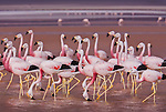As in the soda lakes of East Africa, Andean flamingos feeding in the salt lakes of the Altiplano turn pink from eating brine shrimp.
