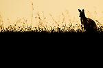 Eastern Grey Kangaroo (Macropus giganteus) juvenile in grassland at sunset, Mount Taylor Nature Reserve, Canberra, Australian Capital Territory, Australia