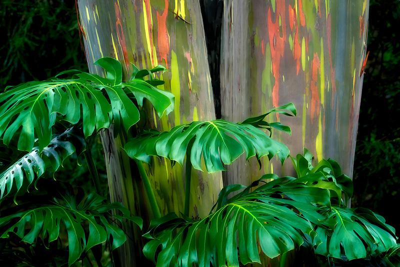 Close up of split leaf philodendron. and painted eucalyptus. trees. Mauai, Hawaii