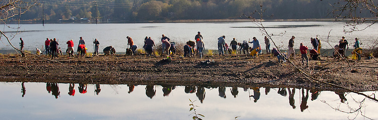 Volunteers planting dune grass, Lower Discovery Bay Estuary Restoration, North Olympic Salmon Coalition, shoreline, estuary, critical habitat, ESA-listed Hood Canal Summer Chum, Discovery Bay, Puget Sound, Salish Sea, Jefferson County, Washington State, salmon restoration, Funding through the Floodplains by Design Initiative, conservation, land preservation,
