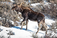 Moose in Winter in Teton National Park, Jackson Wyoming.