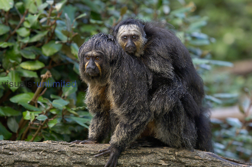 White-faced Saki (Pithecia pithecia) mother with young male on her back. Captive