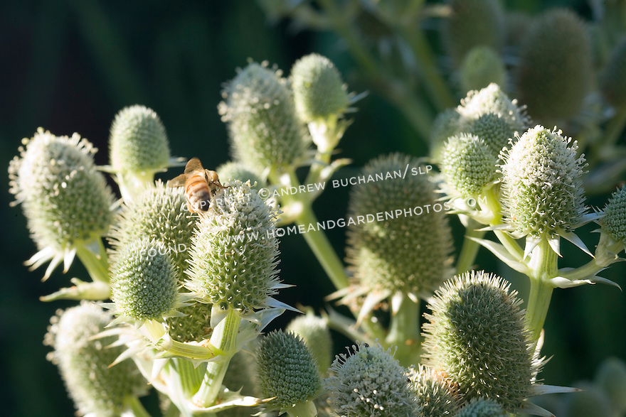 A lone honeybee crawls on a thistle seed head in the early morning summer sunshine in this shallow-focus detail shot that includes a soft dark background.