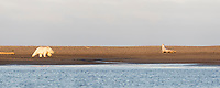 Polar bear walks along the shore of a barrier island in the Beaufort Sea, Arctic National Wildlife Refuge, Alaska.