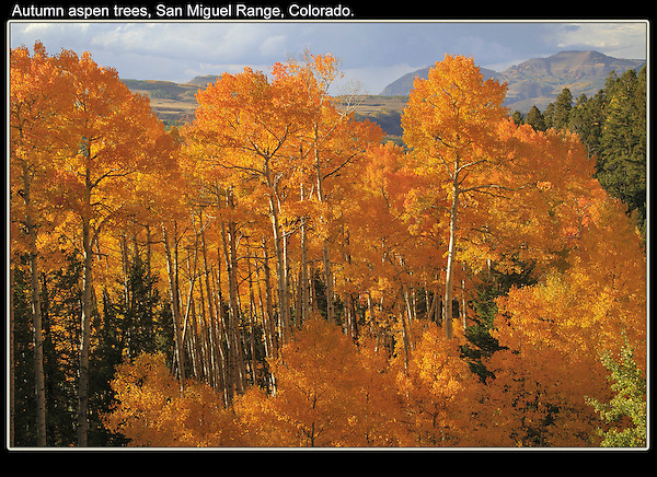 Autumn aspen tree are an icon of Colorado. Visit the last week in September and early October.<br /> John offers guided, photo tours of Colorado's mountains. Click the CONTACT button above for inquiries.