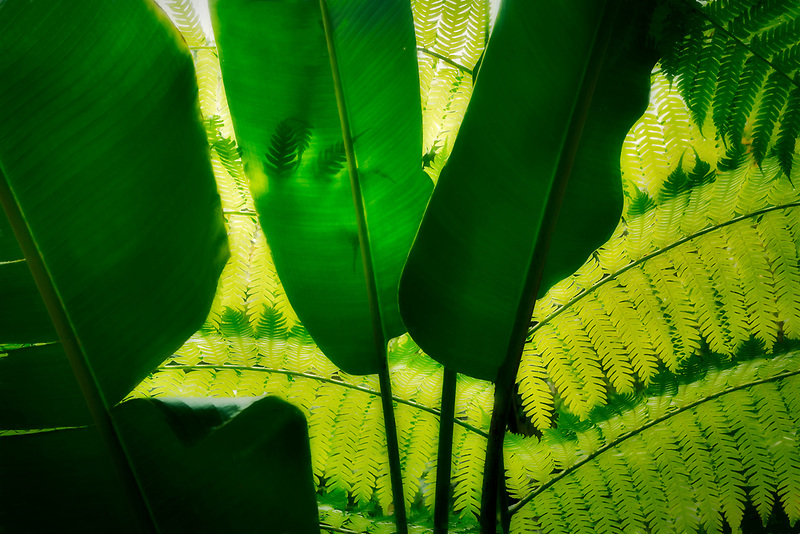 Fern silhouetted behind Large leaf. Hawaii Tropical Botanical Gardens, The Big Island