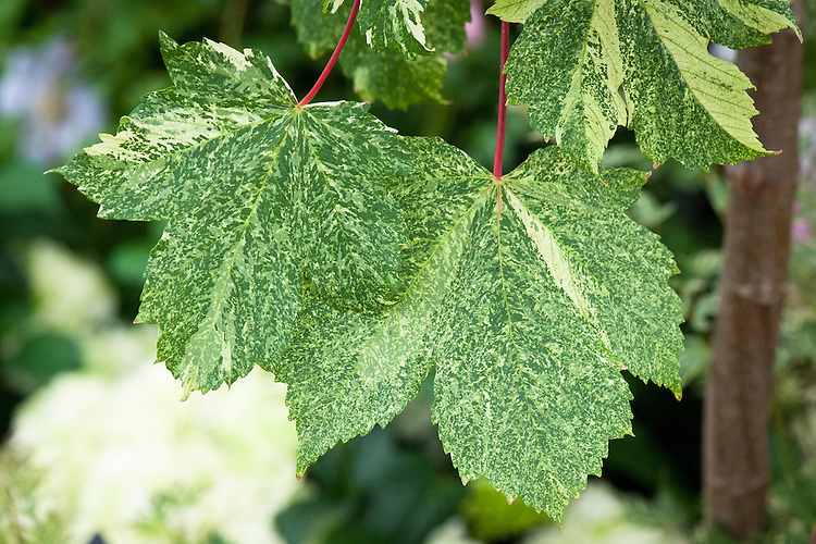 Acer pseudoplatanus f. variegatum 'Simon-louis Frères', early July. A small to medium-sized sycamore with leaves that are pink when young, becoming variegated with green and white blotches in summer.