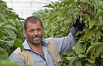 Abdulah Sliman harvests eggplant in his greenhouse in Al Fukari, Gaza. The farmer grows vegetables in several greenhouses, and uses a catchment system to capture the rainwater that falls on the structures. That water he collects in a pond and mixes with increasingly saline groundwater he pumps from a well. The system allows him to produce a greater quantity of more lucrative crops, at a greater profit because he isn't forced to buy as much water for irrigation. Sliman and several other farmers in the community received assistance in building their systems from Diakonie Katastrophenhilfe, a member of the ACT Alliance. In the wake of the devastating 2014 war, ACT Alliance members are supporting health care, vocational training, rehabilitation of housing and water systems, psycho-social care, and other humanitarian actions throughout the besieged Palestinian territory. Quality water is growing increasingly scarce in Gaza, as Israel drains the aquifer for its own development, pulling salt water into the aquifer from the west.