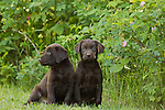 Chocolate Labrador retriever puppy