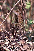 Central American Gecko