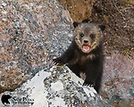 Young grizzly bear cub bawling for it's mother. Yellowstone National Park, Wyoming.