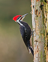 Pileated woodpecker (Dryocopus pileatus) adult male perched on a weathered snag.<br />