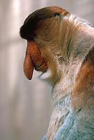 Big-nosed Proboscis Monkey.