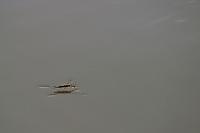 Wasserläufer, läuft auf Oberflächenfilm des Wassers, Gerris spec., Gerridae, pond skaters, water striders, pond skippers