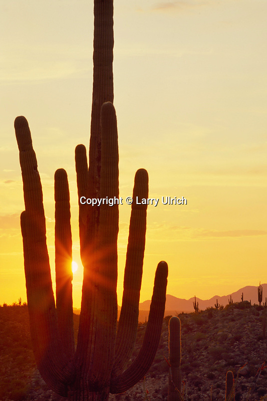 Saguaro at sunset<br />