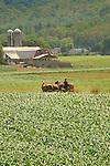 Nippenose Valley. Amish woman making hay rows.