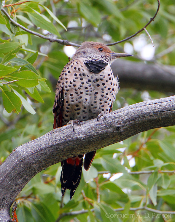 Adult female northern red-shafted flicker