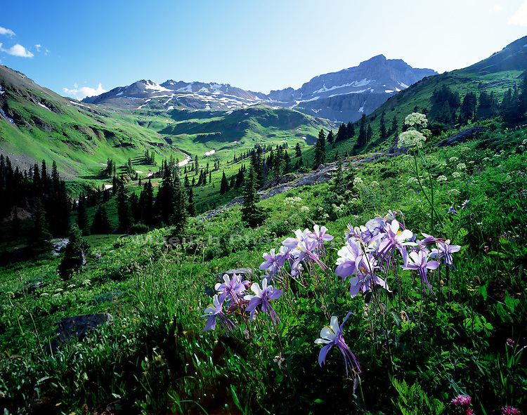 """Columbine flowers, Yankee Boy Basin   COLORADO"""