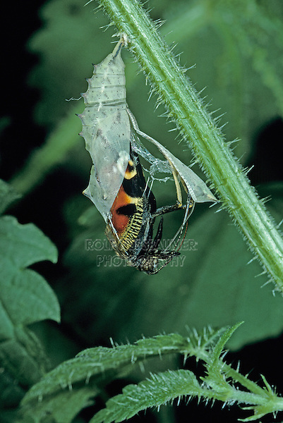 Peacock Butterfly, Inachis io , adult emerging from pupa on Stinging Nettle (Urtica dioica) , Oberaegeri, Switzerland, Europe