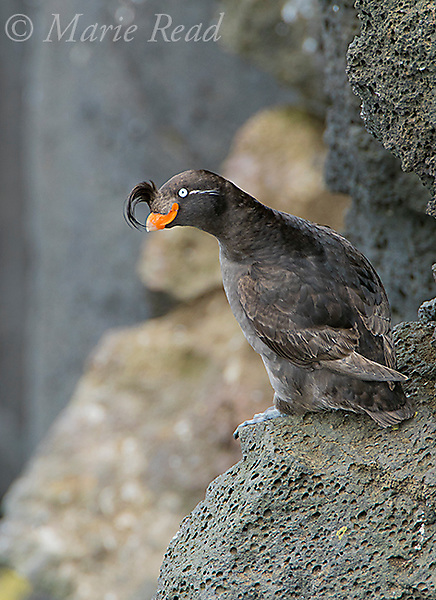 Crested Auklet (Aethia cristatella) perched on rock, St Paul Island, Pribilofs, Alaska, USA