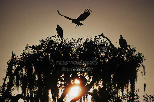 Black Vulture (Coragyps atratus),adults landing on roost, Myakka River State Park, Florida, USA