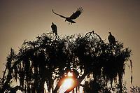 Black Vulture (Coragyps atratus),adults landing on roost, Myakka River State Park, Florida, USA