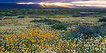 Carrizo Plain National Monument, CA<br /> Desert wildflowers and slanting morning sun's rays over the Tremblor mountains