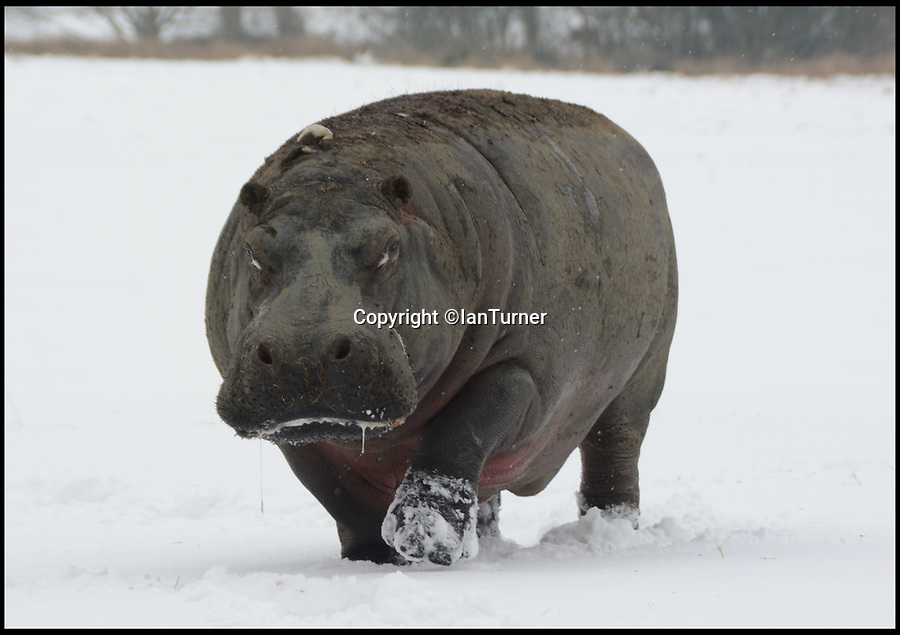 BNPS.co.uk (01202 558833)Pic: IanTurner/BNPS<br /> <br /> Spot the grumpy Hippo is out of his comfort zone at the Longleat Safari Park in Wiltshire today.