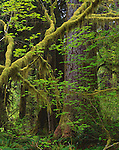 Olympic National Park, WA: Moss covered Vine Maple (Acer circinatum) in early spring on the Hall of Mosses Trail near the Hoh River