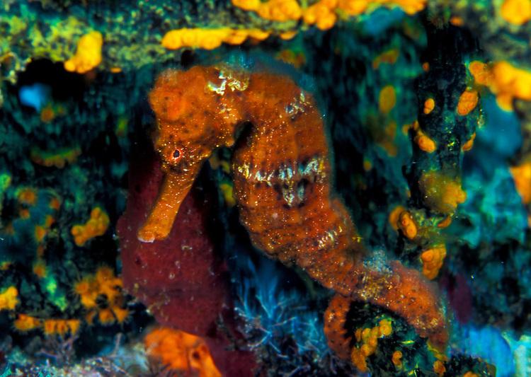 An orange longsnout seahorse (Hippocampus reidi) shelters under coral