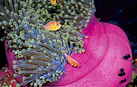 Sea Anemone Clowns, white maned or pinkclown fish or anemonefish or clownfish, Amphiprion perideraion., in magnificent sea anemone, Heteractis magnifica, Palau, Micronesia, Pacific Ocean