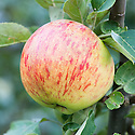 Apple 'Upton Pyne', late September. An English dual-purpose culinary-dessert apple from Topsham in south Devon, introduced in 1910.