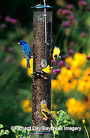 00585-02605 Indigo Bunting (Passerina cyanea) & American Goldfinches (Carduelis tristis) on nyjer/thistle feeder Marion Co. IL