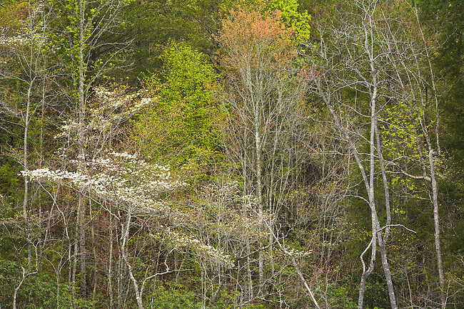 Blooming dogwood in spring forest