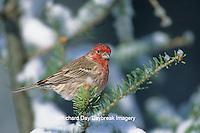 01643-00802 House Finch (Carpodacus mexicanus) male in winter, Marion Co.   IL