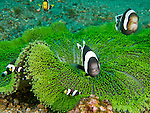"A large family of anemonefish confronted me as I approached ""their"" anemone, a short-tentacled and bright green specimen found all alone in the sand at the bottom of the Lembeh Strait (North Sulawesi, Indonesia)."
