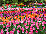 Skagit County, WA: Assorted varieties of flowering tulips form colorful patterns in the RoozenGaarde garden.