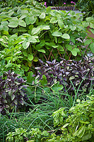 Intensive organic vegetable and herb garden with soybean, purple basil, garlic chives and sweet basil