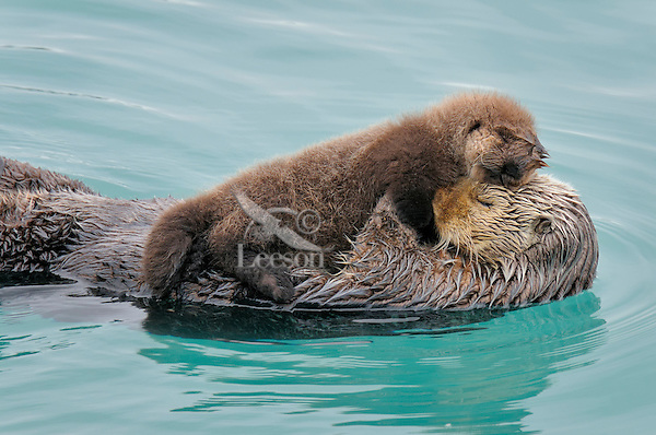 Alaskan or Northern Sea Otter (Enhydra lutris) mother and pup sleeping.