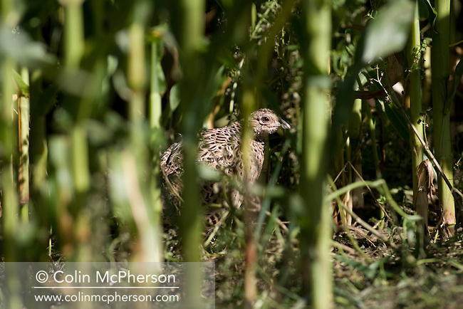 A bird camouflaged by maize in an open-air pen for pheasants at Hy-Fly Hatcheries, a company based in Preesall, near Blackpool, Lancashire which specialises in breeding partridge and pheasant to be sold to sporting estates. The partridges are kept in small cages for up to three years while they mature before being sold. Pheasants are also kept in cages but are transferred to outdoor pens as they mature. The company, which is owned by Ray Holden, produces around three million day-old chicks per year.