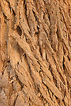 Israel, the Negev desert. Bark of a Tamarisk tree (Tamarix Aphylla) in Wadi Besor